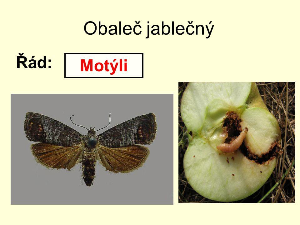 Obaleč jablečný Řád: Motýli