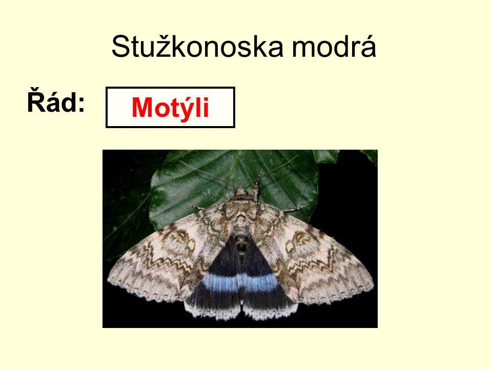 Stužkonoska modrá Řád: Motýli