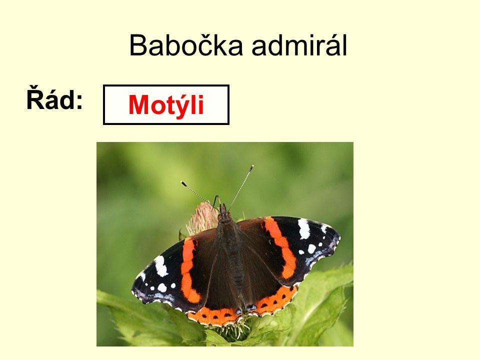 Babočka admirál Řád: Motýli