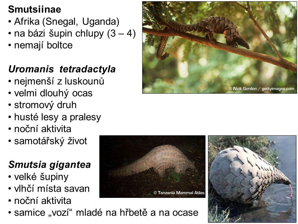 Smutsiinae Afrika (Snegal, Uganda) na bázi šupin chlupy (3 – 4) nemají boltce. Uromanis tetradactyla.