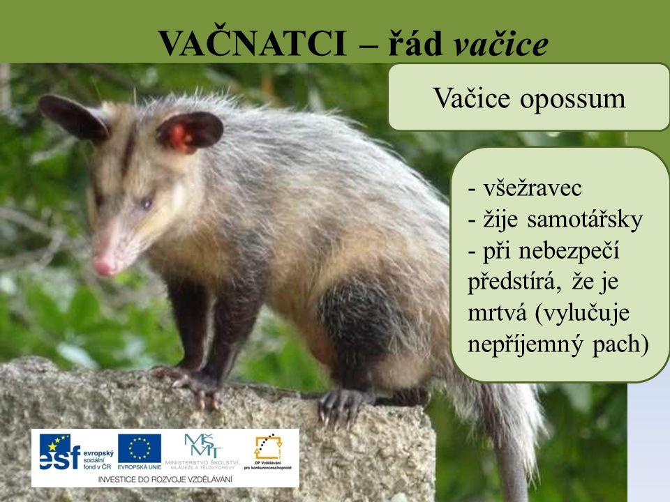 VAČNATCI – řád vačice Vačice opossum všežravec žije samotářsky