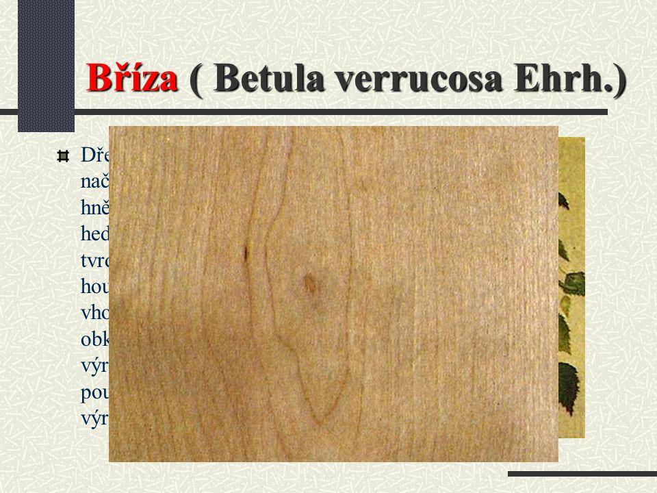 Bříza ( Betula verrucosa Ehrh.)