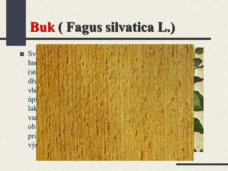 Buk ( Fagus silvatica L.)