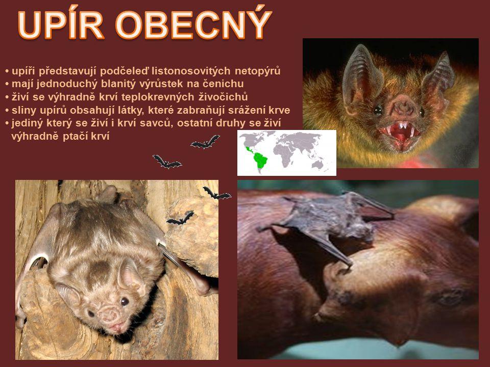 UPÍR OBECNÝ • upíři představují podčeleď listonosovitých netopýrů