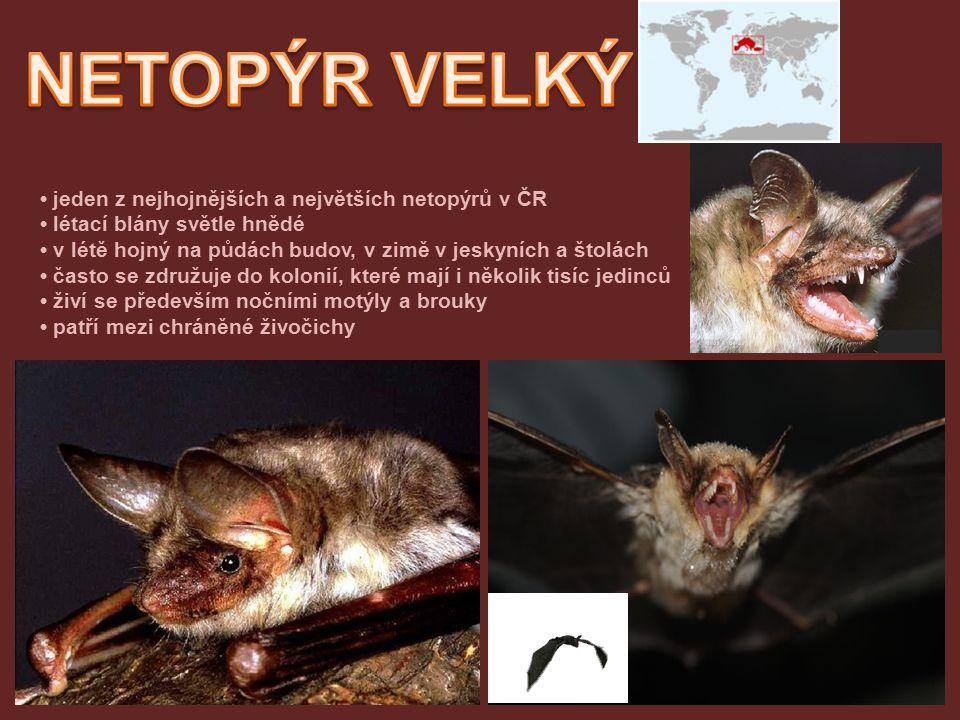 NETOPÝR VELKÝ • jeden z nejhojnějších a největších netopýrů v ČR