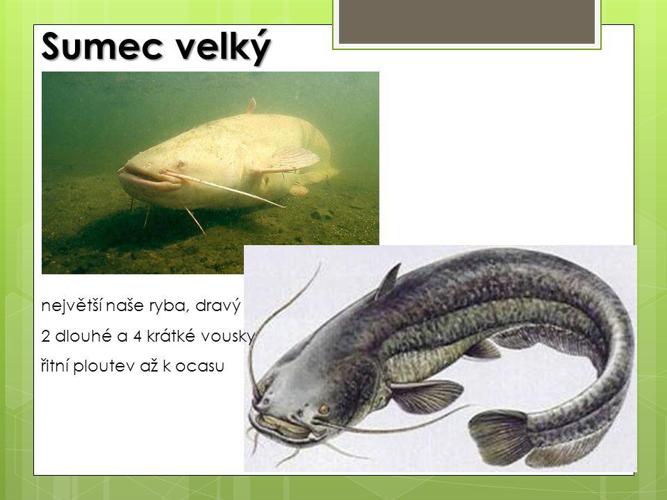 Sumec velký největší naše ryba, dravý 2 dlouhé a 4 krátké vousky