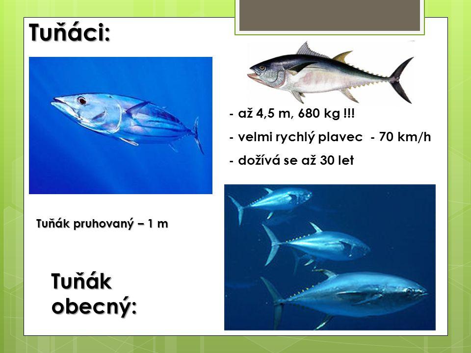 Tuňáci: Tuňák obecný: - až 4,5 m, 680 kg !!!