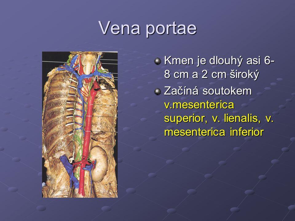 Vena portae Kmen je dlouhý asi 6-8 cm a 2 cm široký