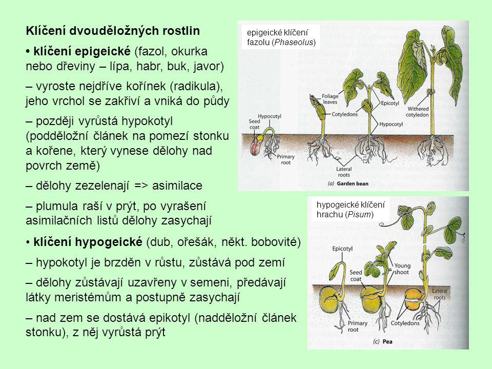 Klíčení dvouděložných rostlin