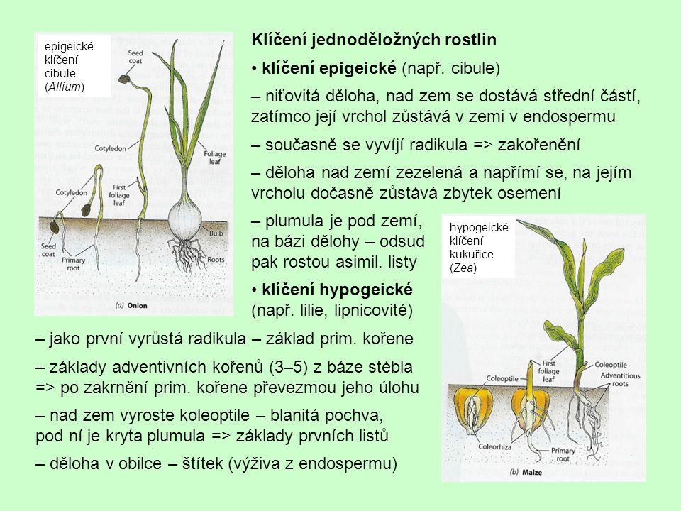Klíčení jednoděložných rostlin • klíčení epigeické (např. cibule)