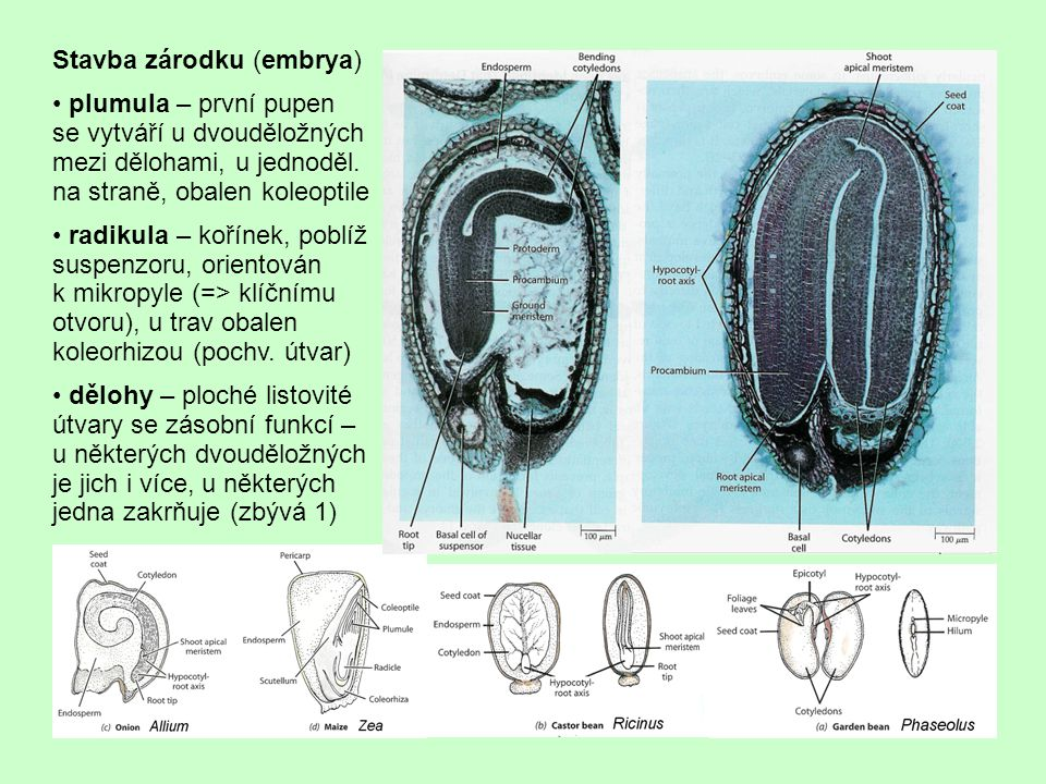Stavba zárodku (embrya)