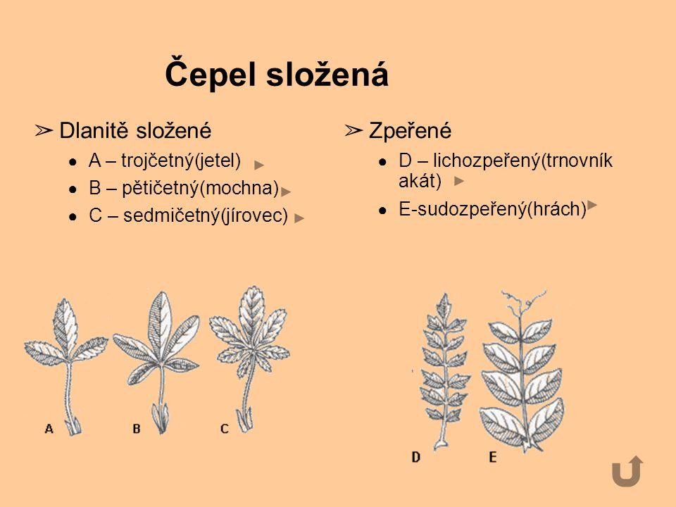 Čepel složená Dlanitě složené Zpeřené A – trojčetný(jetel)