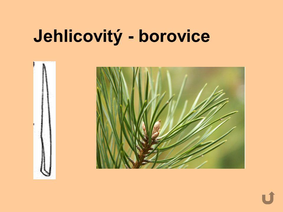 Jehlicovitý - borovice