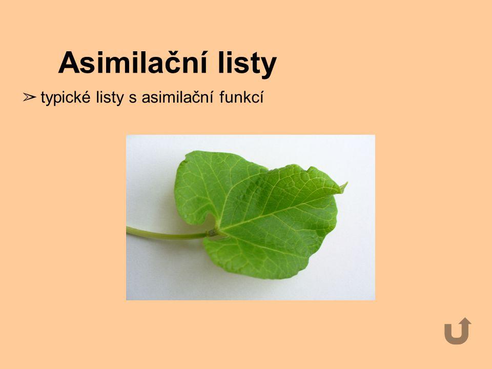 Asimilační listy typické listy s asimilační funkcí