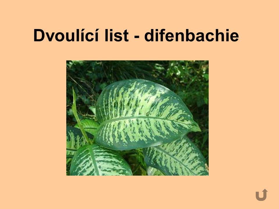 Dvoulící list - difenbachie