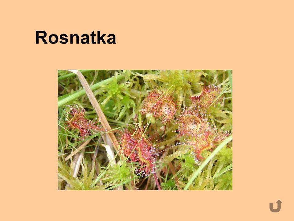 Rosnatka
