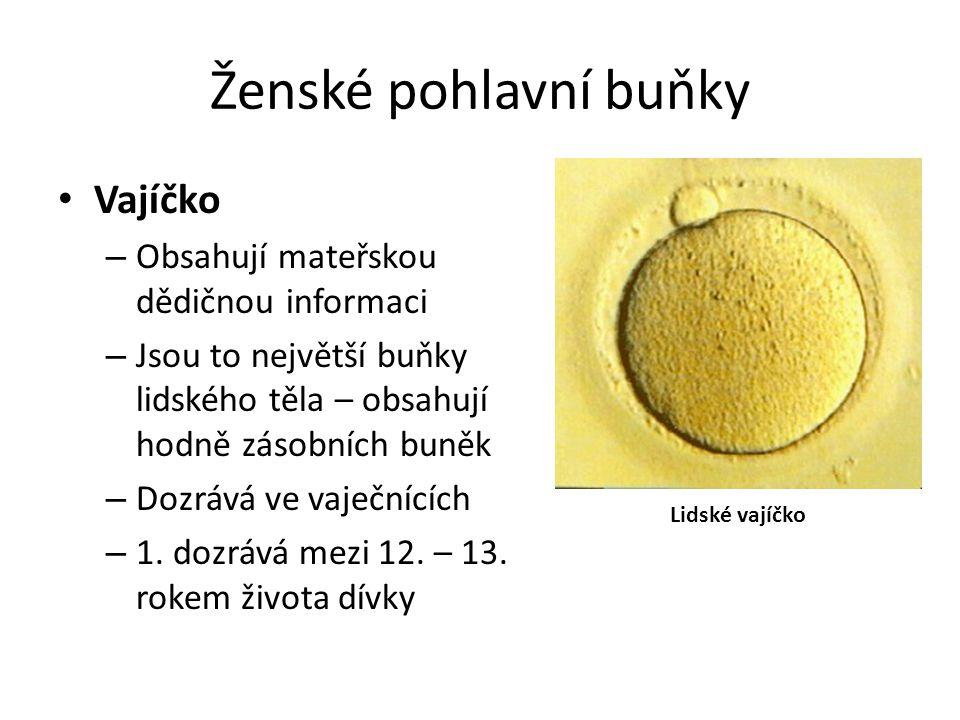 Ženské pohlavní buňky Vajíčko Obsahují mateřskou dědičnou informaci