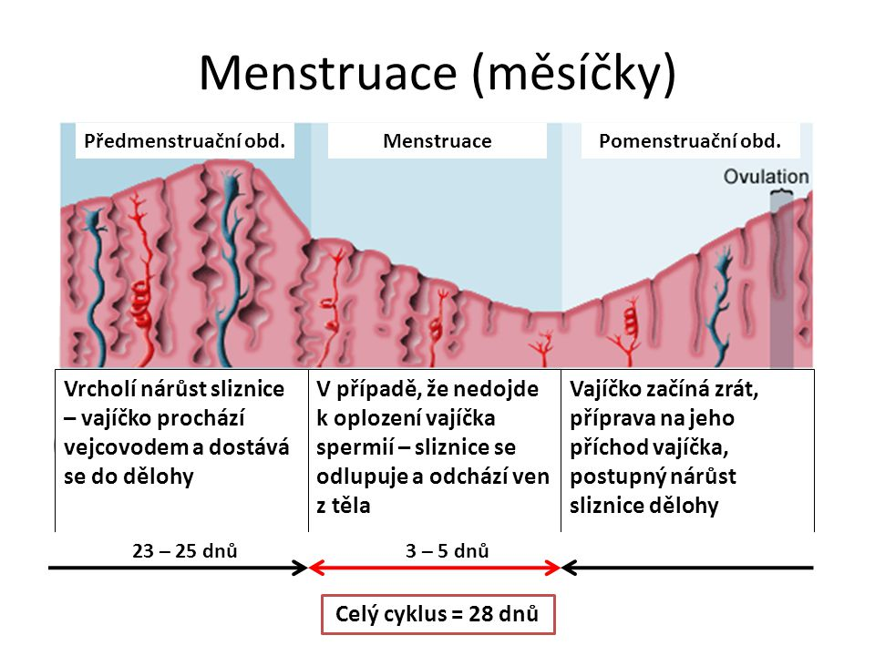 Menstruace (měsíčky) Předmenstruační obd. Menstruace. Pomenstruační obd.