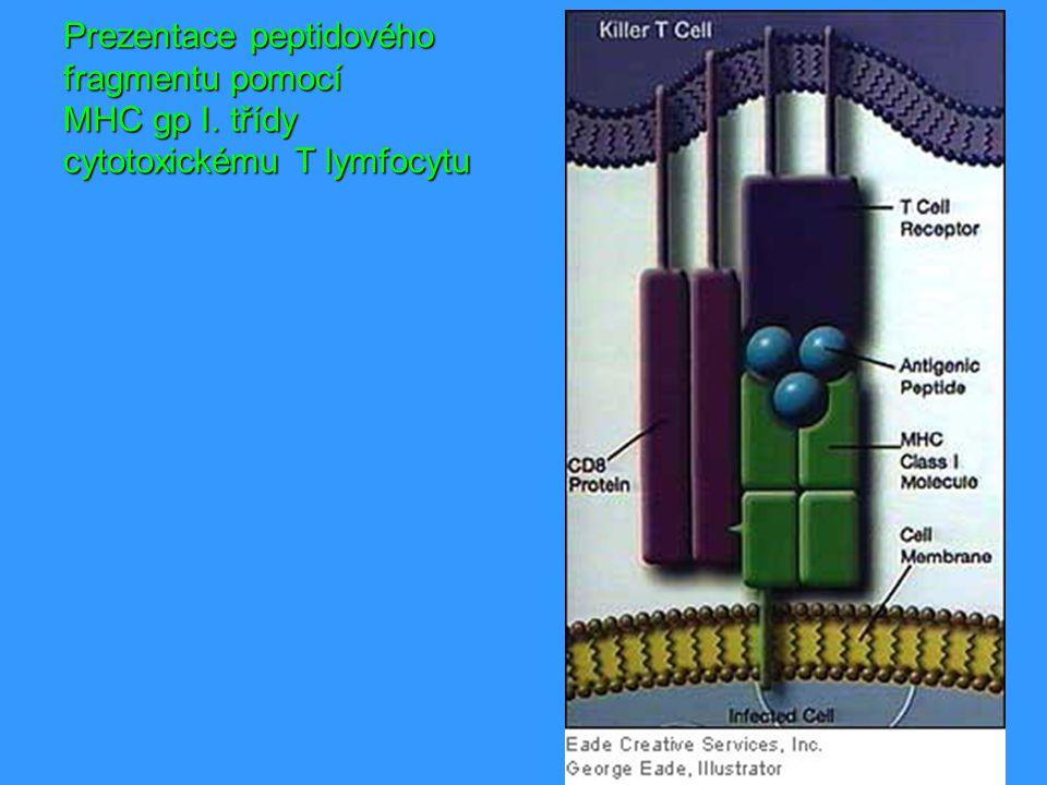 Prezentace peptidového fragmentu pomocí MHC gp I