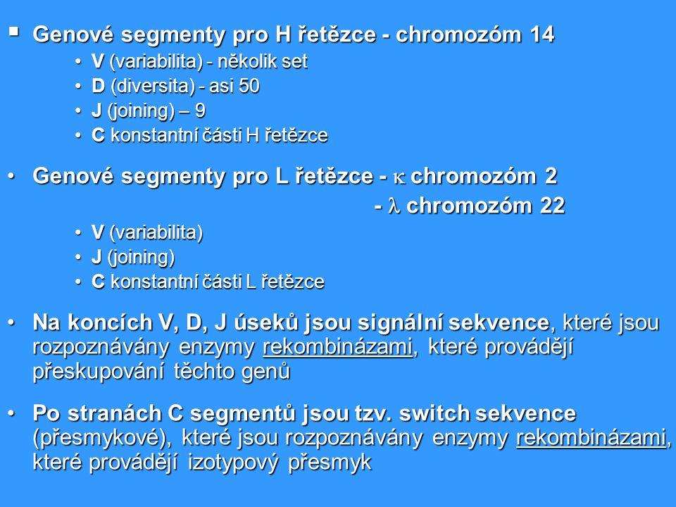Genové segmenty pro H řetězce - chromozóm 14
