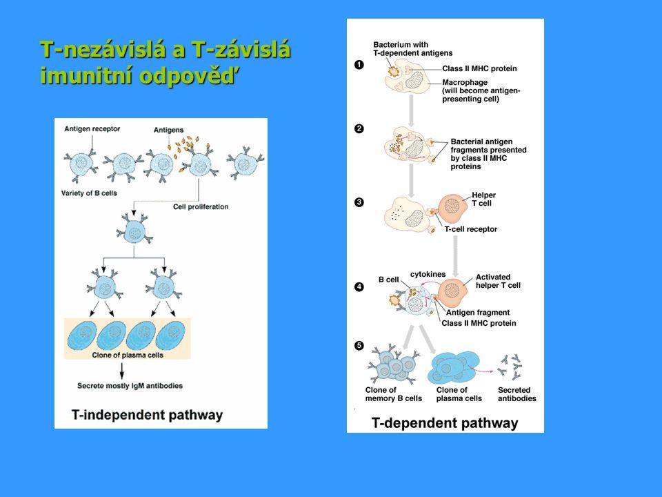 T-nezávislá a T-závislá imunitní odpověď