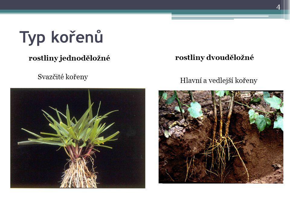 Typ kořenů rostliny jednoděložné rostliny dvouděložné Svazčité kořeny
