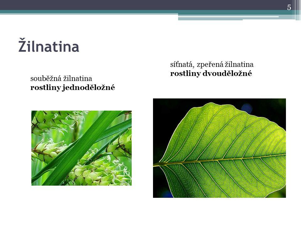 Žilnatina síťnatá, zpeřená žilnatina rostliny dvouděložné