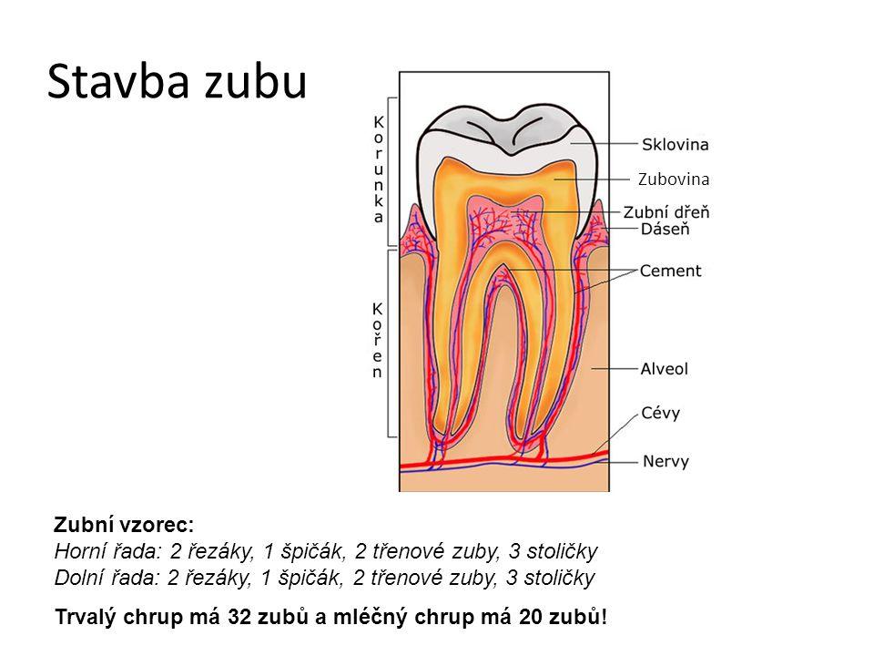 Stavba zubu Zubní vzorec: