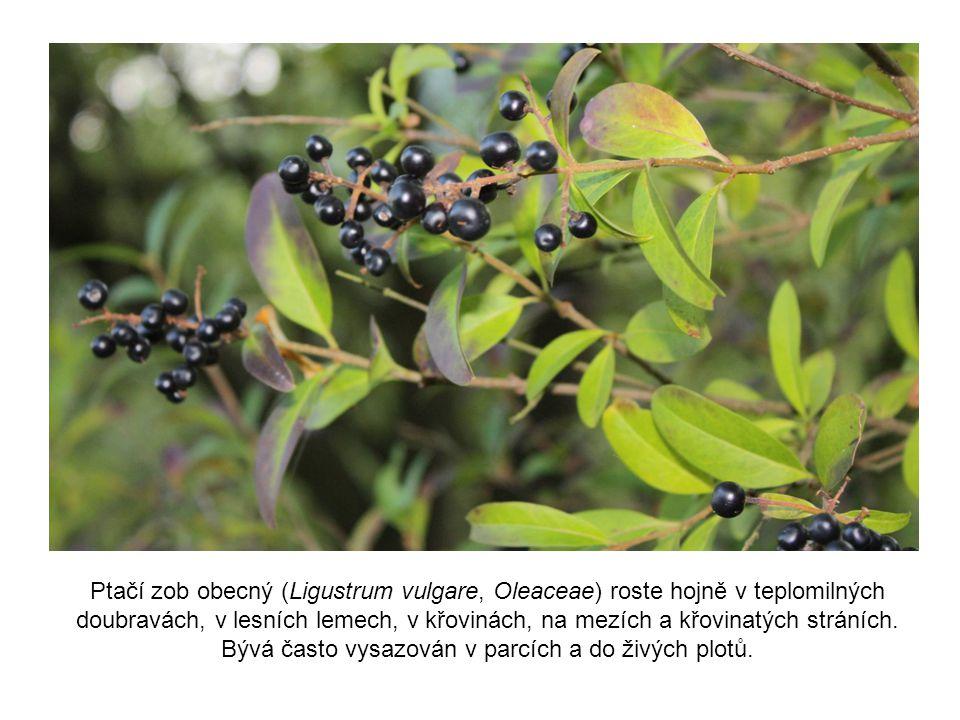 Ptačí zob obecný (Ligustrum vulgare, Oleaceae) roste hojně v teplomilných doubravách, v lesních lemech, v křovinách, na mezích a křovinatých stráních.