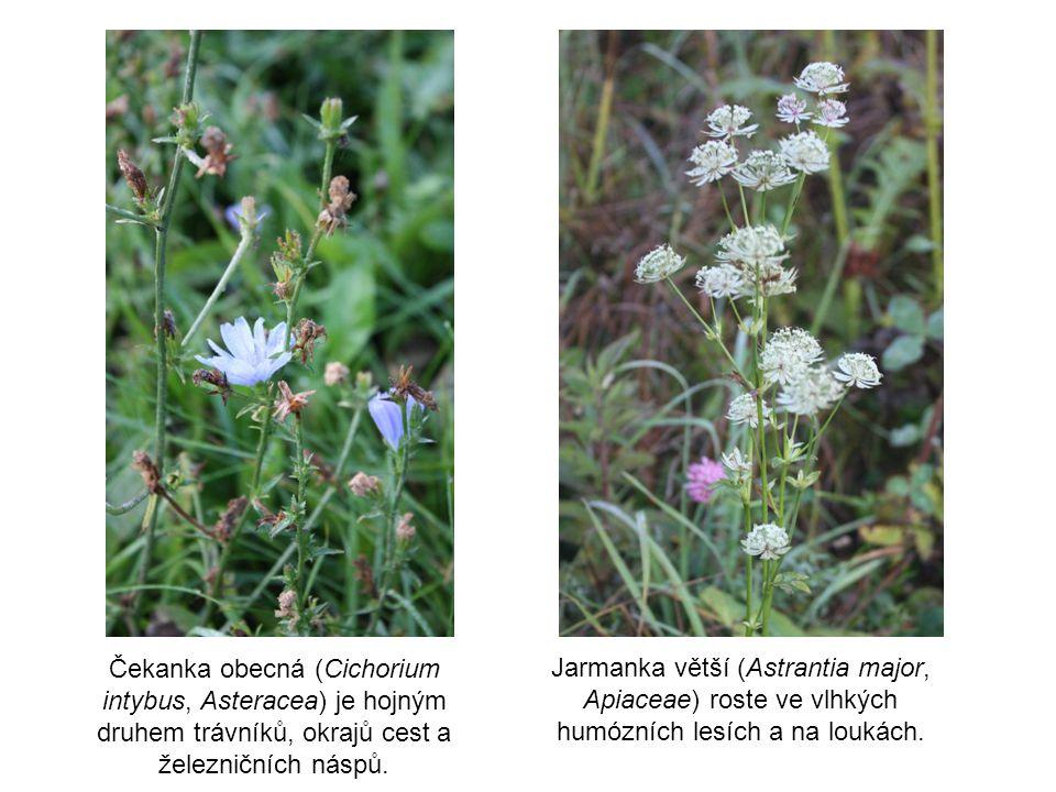 Čekanka obecná (Cichorium intybus, Asteracea) je hojným druhem trávníků, okrajů cest a železničních náspů.