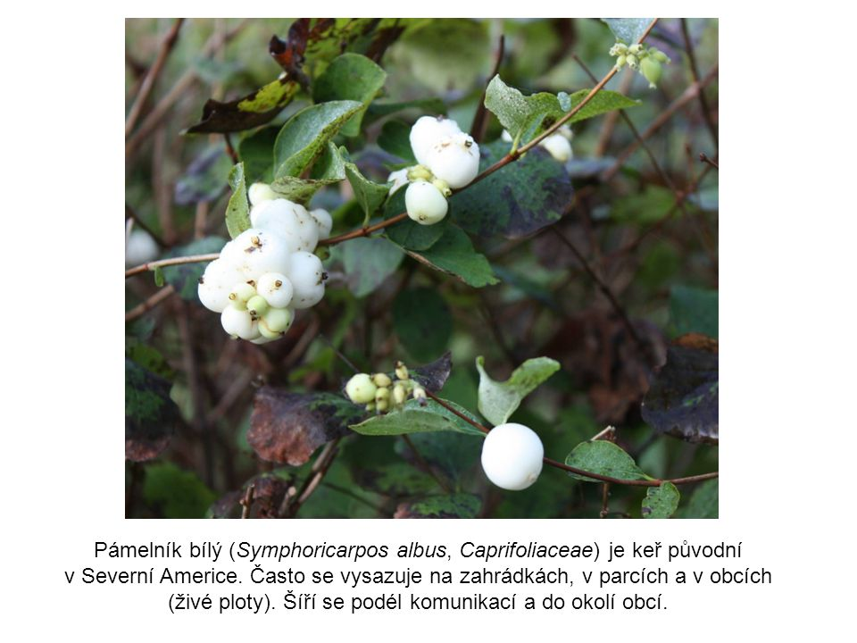 Pámelník bílý (Symphoricarpos albus, Caprifoliaceae) je keř původní
