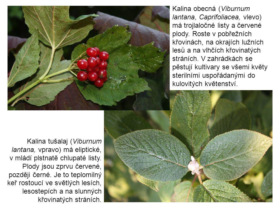 Kalina obecná (Viburnum lantana, Caprifoliacea, vlevo) má trojlaločné listy a červené plody. Roste v pobřežních křovinách, na okrajích lužních lesů a na vlhčích křovinatých stráních. V zahrádkách se pěstují kultivary se všemi květy sterilními uspořádanými do kulovitých květenství.