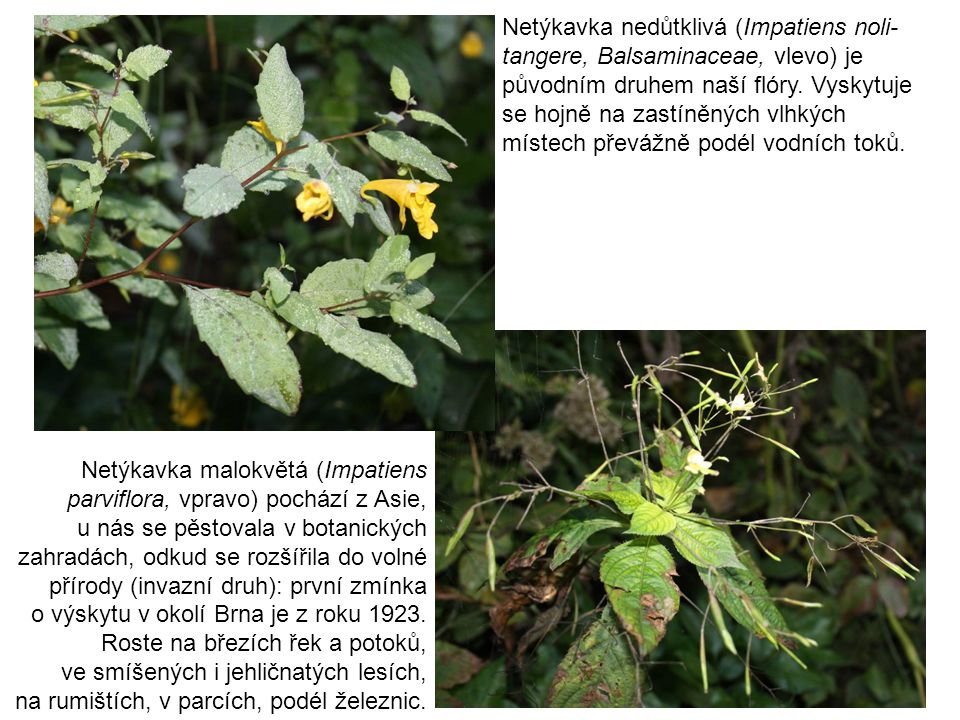 Netýkavka nedůtklivá (Impatiens noli-tangere, Balsaminaceae, vlevo) je původním druhem naší flóry. Vyskytuje se hojně na zastíněných vlhkých místech převážně podél vodních toků.