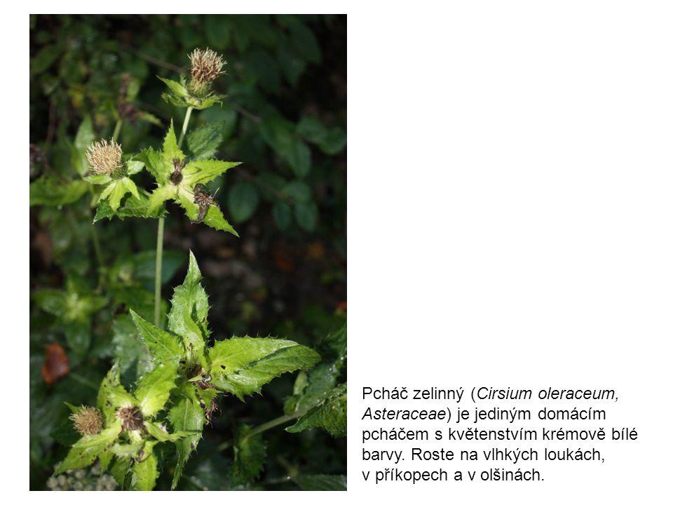Pcháč zelinný (Cirsium oleraceum, Asteraceae) je jediným domácím pcháčem s květenstvím krémově bílé barvy. Roste na vlhkých loukách,