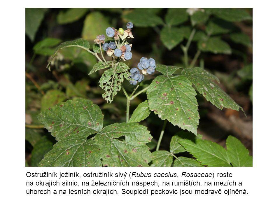 Ostružiník ježiník, ostružiník sivý (Rubus caesius, Rosaceae) roste