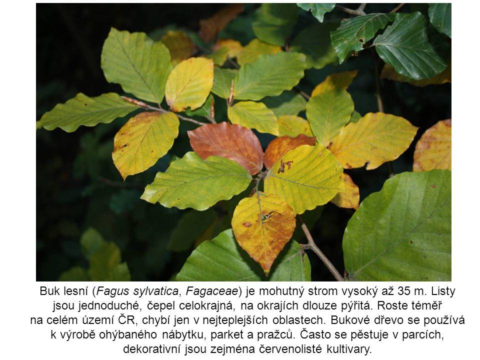 Buk lesní (Fagus sylvatica, Fagaceae) je mohutný strom vysoký až 35 m