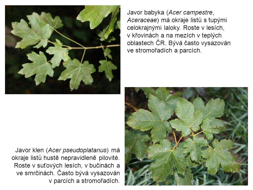 Javor babyka (Acer campestre, Aceraceae) má okraje listů s tupými celokrajnými laloky. Roste v lesích,