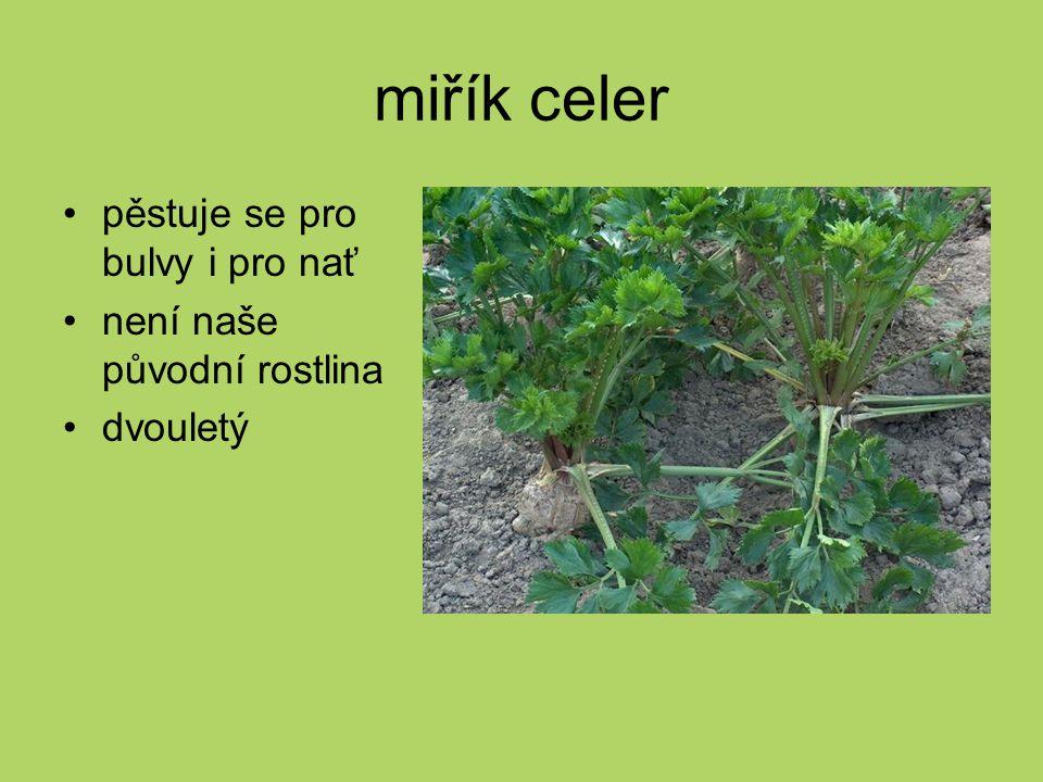 miřík celer pěstuje se pro bulvy i pro nať není naše původní rostlina