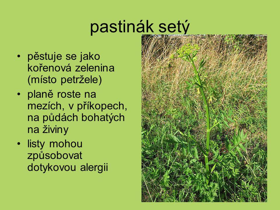 pastinák setý pěstuje se jako kořenová zelenina (místo petržele)