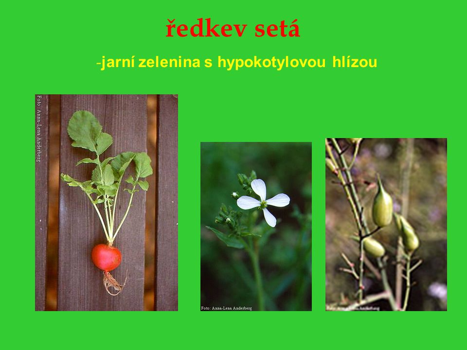 ředkev setá -jarní zelenina s hypokotylovou hlízou