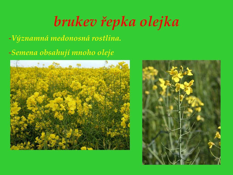 brukev řepka olejka Významná medonosná rostlina.