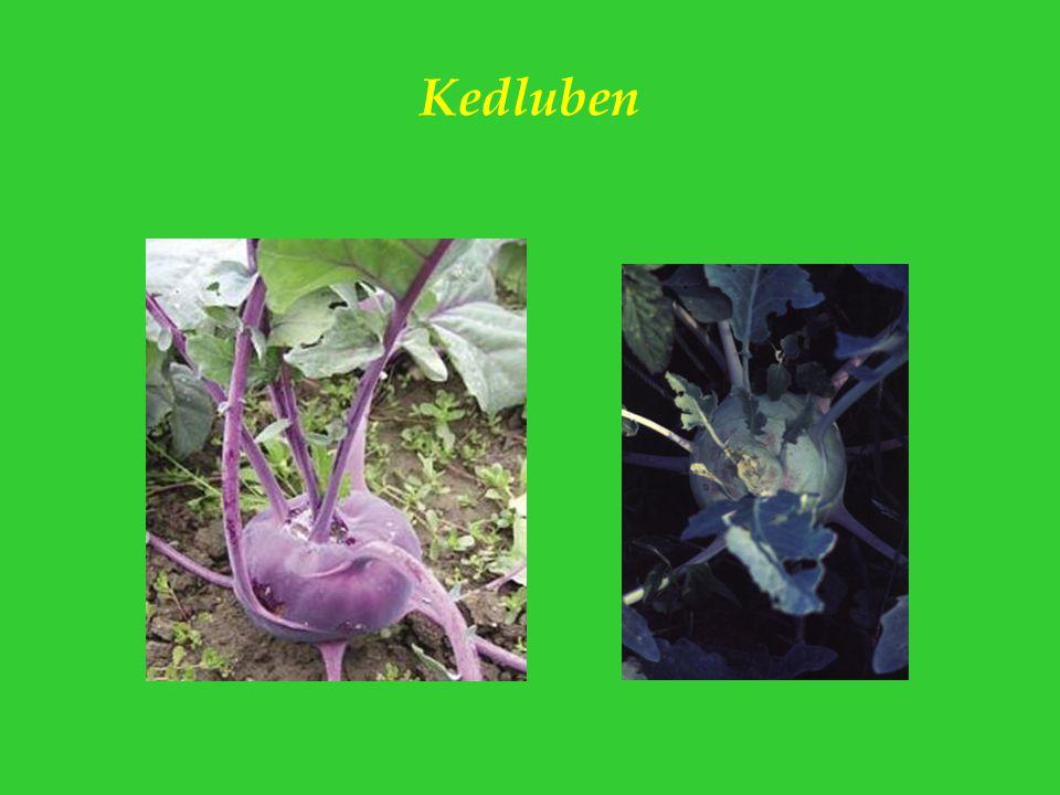 Kedluben