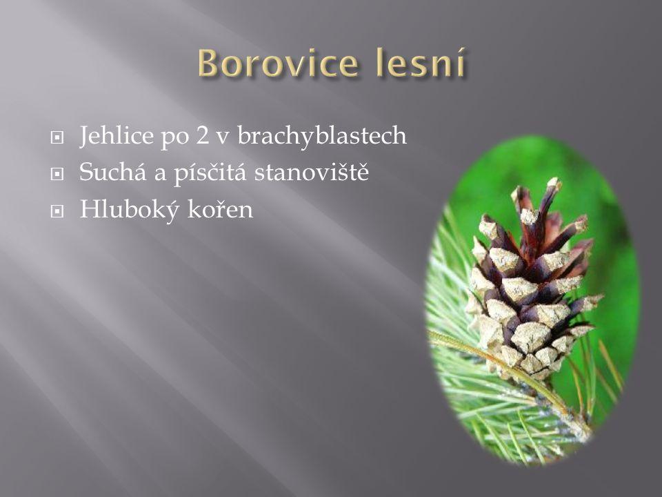 Borovice lesní Jehlice po 2 v brachyblastech