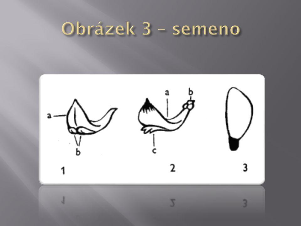 Obrázek 3 – semeno