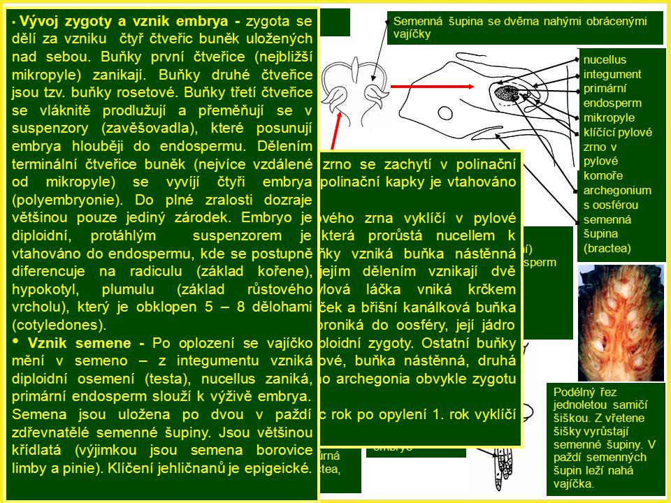 Schéma vývojového cyklu borovice.