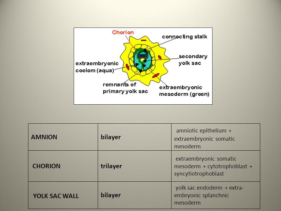 amniotic epithelium + extraembryonic somatic mesoderm