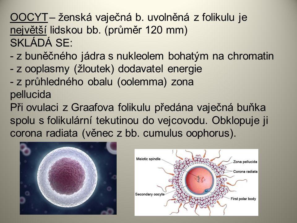 OOCYT – ženská vaječná b. uvolněná z folikulu je největší lidskou bb