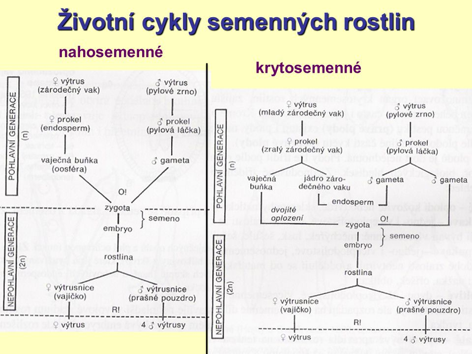 Životní cykly semenných rostlin