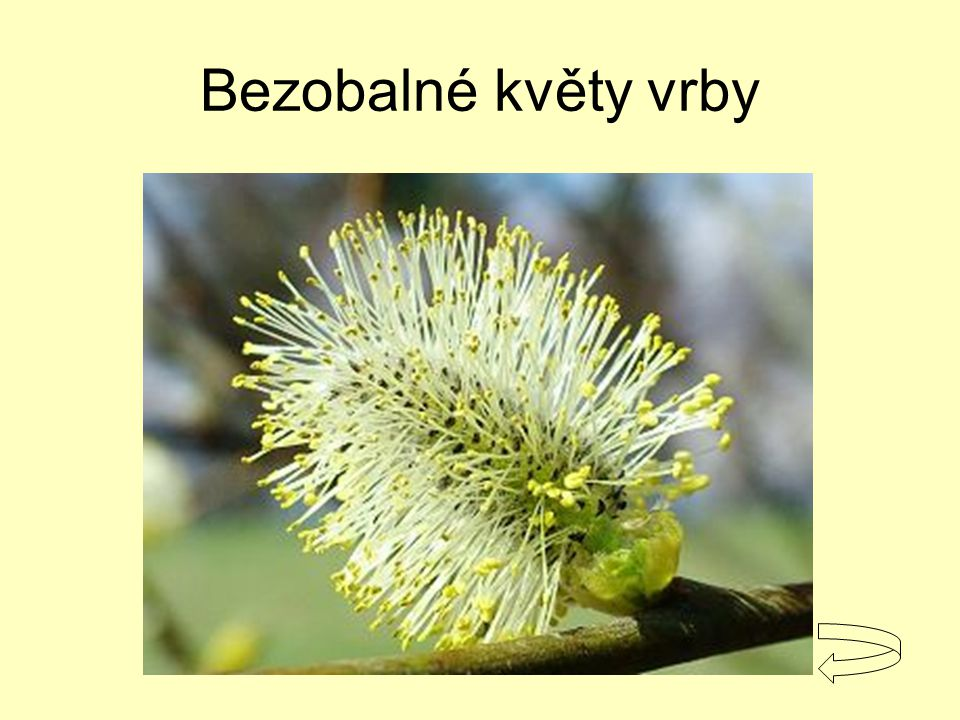 Bezobalné květy vrby