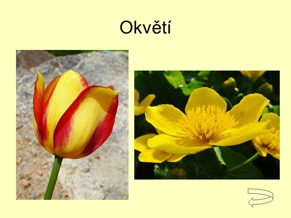 Okvětí Tulipán, blatouch